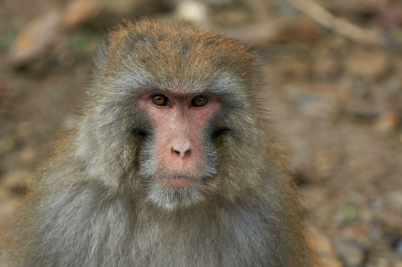 Seda Tibetan Macaque Macaque Macaque Monkey Monkey Animals In The Wild Animal Wildlife Primate Mammal Vertebrate Day Animal Animal Themes One Animal Looking At Camera Focus On Foreground Animal Hair Close-up No People Animal Head  Animal Body Part Hair