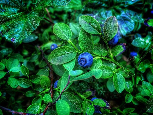 Blueberries. The nature of the north, where I was born. Russia, Yamal. Nature Photography Nature Photography Blueberries Blueberry North Russia Nature Russia Wood Forest фотография Черника первое фото новый уренгой ЯМАЛ First Eyeem Photo