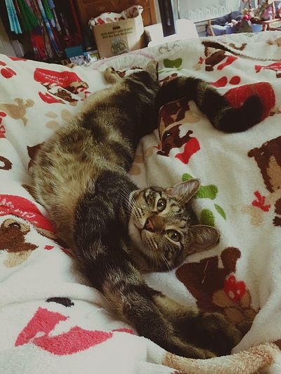Domestic Cat Pets Bed Cat Feline Relaxation Cats Of EyeEm Polydactyl TabbyCat Tabby Stripes Everywhere