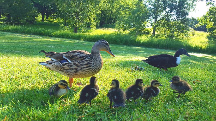 Ducks In A Row Bird Grass Outdoors Ducklings University Of Essex