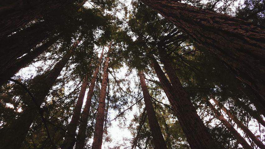 Bliss. Redwood Trees Leafy Skies Bottom Up Forests Outdoors UCSC Santa Cruz Wildlife