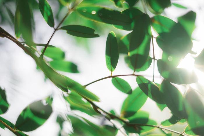 แสงแดดและใบไม้ในวันที่อากาศร้อน Beauty In Nature Green Leaf Light Nature ใบไม้