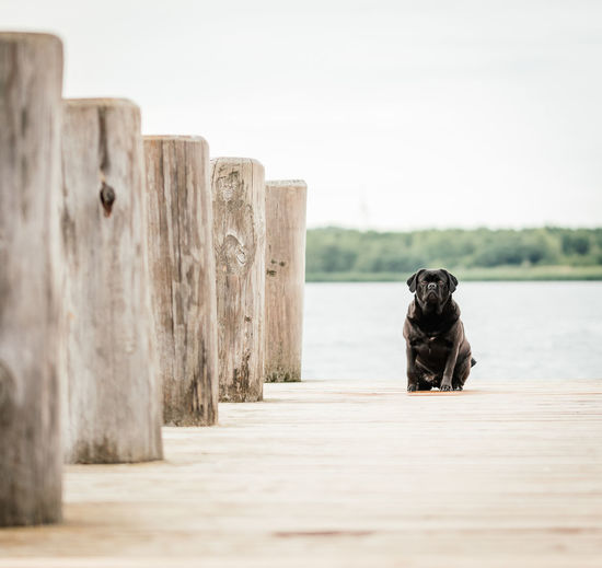 Black Puggle sitting at landing stage next to a lake Animal Animal Themes Black Dog Dog Dog Photography Dog Portrait Domestic Domestic Animals Lake Landing Stage Nature No People One Animal Outdoors Pets Puggle Sky Summer Water Wood - Material
