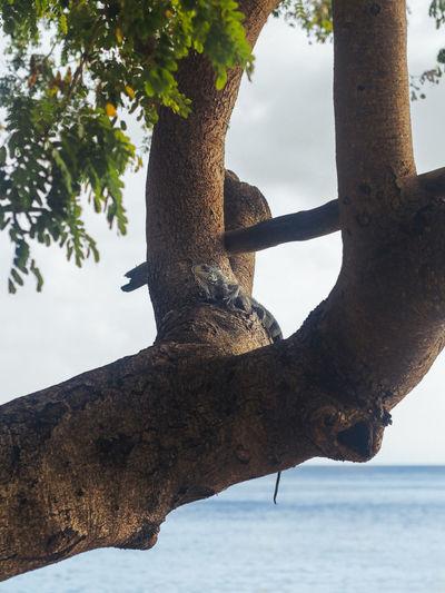 Iguana EyeEm Premium Collection Iguana Nature Reptile Seashore Tree Animal Animal Wildlife Beach Caribbean Daylight Island Islandlife Outdoor Photography Sea Seascape Seaside Sky