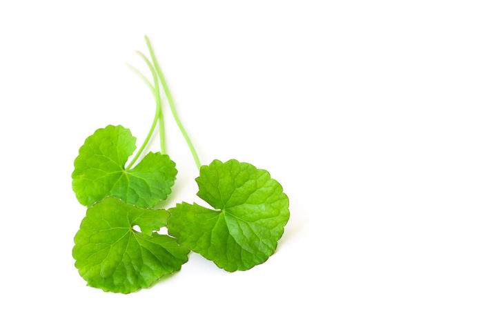 Closeup leaf of Gotu kola, Asiatic pennywort, Indian pennywort on white background with water drop, herb and medical concept African Asian  Asiatic Pennywort Centella Herb Indian Pennywort Longevity Medicine Nature Plant Thai Aging Anti Aging Ayurvedic Edible  Food Freshness Gotu Kola Green Color Herbal Leaf Organic Thankuni White Background White Backround