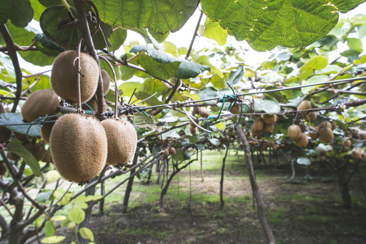 Kiwi Kiwi - Fruit Kiwifruit Fruits Agriculture Close Up Plant Growth Fruit Food Food And Drink Healthy Eating No People Tree Nature Day Freshness Focus On Foreground Hanging Leaf Outdoors Plant Part Land Ripe