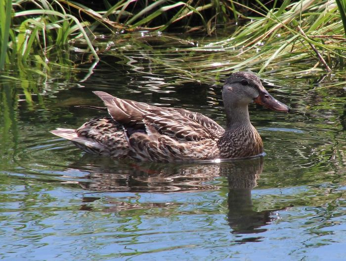 Animal Themes One Animal Bird Duck Swimming Water Green Grass Nature Reflection No People Outdoors