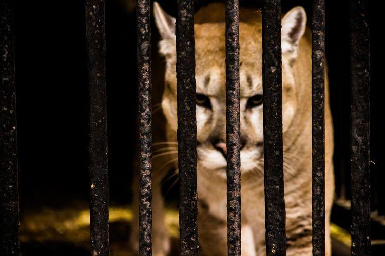 пума Wild Animal кошка большая кошка Big Cat Cell клетка