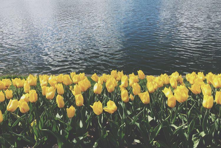Czekając na prom w Bergen napawać się można było wiosennym klimatem tego miasta Norway Spring Tulips Water Plant Flower Nature Beauty In Nature First Eyeem Photo