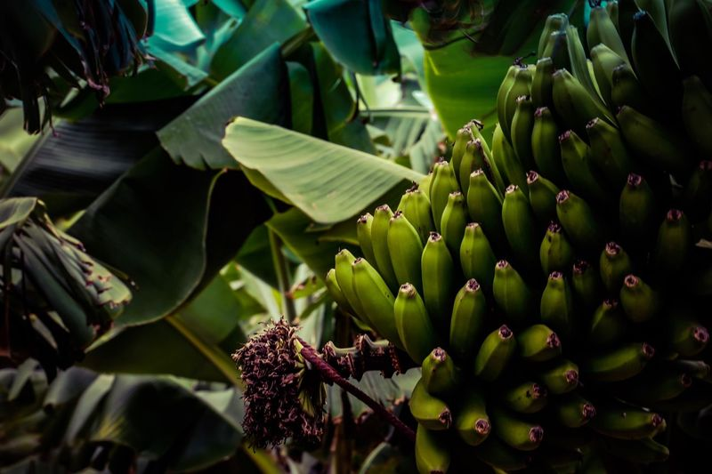 Bananas Green Color Growth No People Food Nature Leaf Plant Close-up Outdoors Beauty In Nature Day Banana Tree Freshness Healthy Eating Travel Destinations Canary Islands Isla De La Palma Tropical Climate Location Photography Travel Photography Export Lifestyles Economy