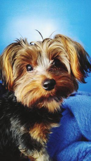 Yorkshire Yorkie Dog Dogs First Eyeem Photo