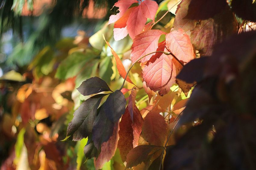 Leaf No People Autumn🍁🍁🍁 Beauty In Nature Autumn 2017 Autumn Collection Beauty Plant Day Outdoors Autumn Vintage Lenses Vintage Lens On Modern Camera Vintage Lens Helios 44-2 Helios Multi Colored Nature Nature Plant Helios 44-2 58mm F2 Vintage Lens Photography Leafphotography Leafy Leaf Turns Red And Yellow