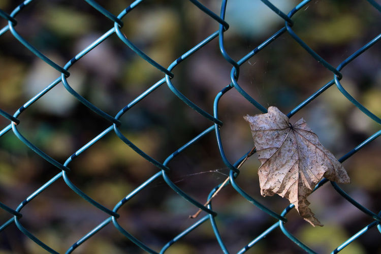 Close-up of dry maple leaves on chainlink fence