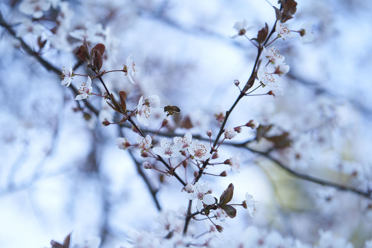 Flowering Plant Flower Plant Branch Growth Fragility Tree Beauty In Nature Blossom Springtime Vulnerability  Freshness Low Angle View Nature Close-up White Color No People Twig Day Focus On Foreground Cherry Blossom Outdoors Flower Head Cherry Tree Plum Blossom Bee Honey Bee Honey Tree Spring Springtime💛 March March 2019 Beautiful Nature Austria Austria ❤ Styria 💚 Styria💚the Green Heart Of Austria Wonderful Wonderful Place EyeEm EyeEm Best Shots Eyey4photgraphy EyeEm Nature Lover EyeEm Selects EyeEm Gallery My Best Photo Sensitive Sensitive Photo