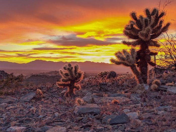 Cactus growing on field against orange sky