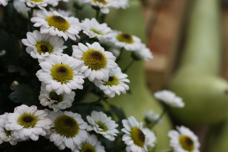 Green Color Moscow, Russia Wight Beauty In Nature Blooming Botanical Garden Close-up Day Flower Flower Head Flowers Fragility Freshness Growth Nature No People Osteospermum Outdoors Petal Plant белые цветы цветы