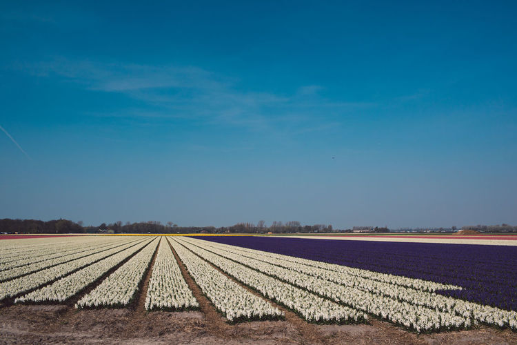 Hyacinth Flowers Plant Field Agriculture Cultivated Land Blue Sky Clear Sky Day Outdoors Nature Beauty In Nature Pattern Rural Scene Landscape