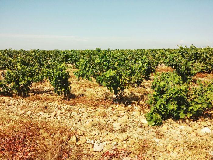Chateauneufdupape CôtesduRhône Châteauneuf-du-Pape Wineyards Wineyard Wine Cotes Du Rhone France Red Wine