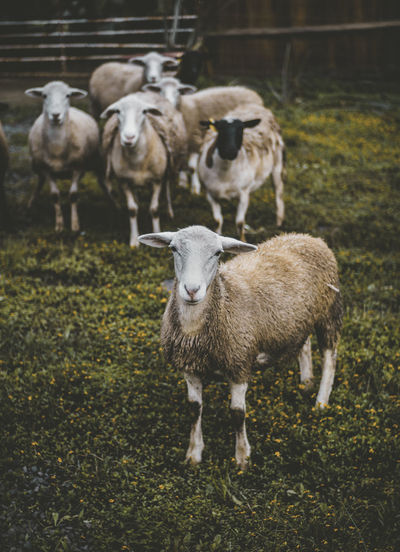 Nature Nature Photography Animal Animal Family Animal Themes Day Domestic Grass Group Of Animals Herbivorous Land Nature Nature_collection Naturelovers No People Outdoors Pets Photo Photography Photooftheday Plant Sheep Vertebrate Young Animal