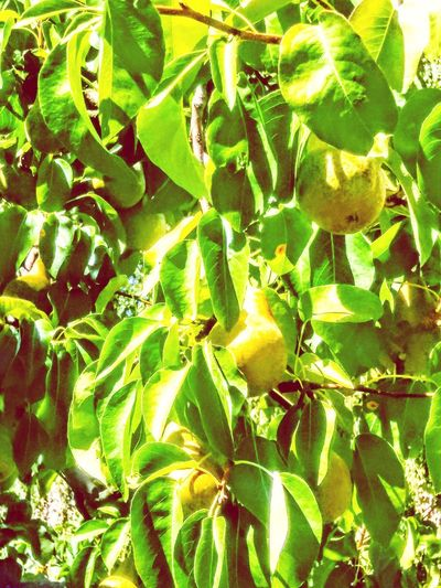 ripening pears