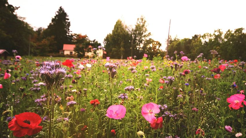 poppyfield from few weeks back.. Flower Field Poppyfield Poppy Flowers Pink Color Flower Head Landscape Poppy Love Poppies🌸