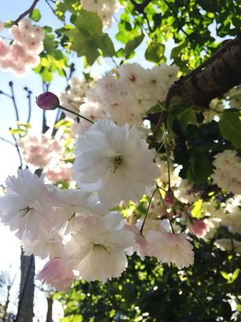 Flower Growth White Color Nature Fragility Freshness Beauty In Nature Petal Springtime Flower Head Blossom No People Twig Close-up Outdoors Stamen Tree Branch Blooming Day London EloEmenike Hello Summer Summer 봄 Sommergefühle