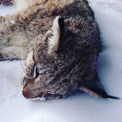 A beautiful Apexpredator down. One of just 29 that was aloud to hunt in my region of Sweden this year. Lynxlynx Lynxhunting Predator Deerhunter Drivenhunt Predatorcontrol RespectNature Hunterforlife @markusf88