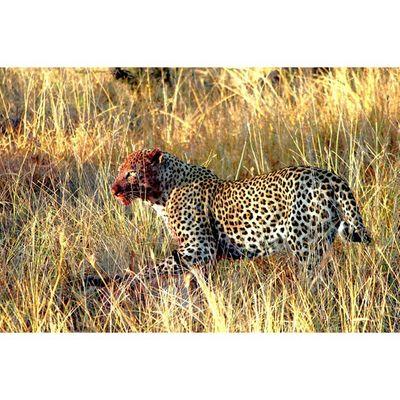 Leopard Kill Animalsaddict Squaredroid Natureaddict Krugernationalpark Africanamazing @Animals Wildlife Igersmp Africa