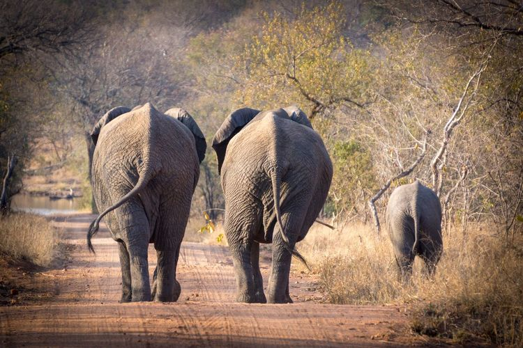 Animals In The Wild Elephant Animal Wildlife African Elephant Animal Themes Mammal Nature Walking Animal Safari Animals Outdoors No People Young Animal Day Elephant Calf Animal Family Togetherness Landscape Beauty In Nature Tusk Been There.