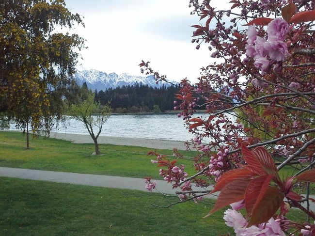 Cherry Blossoms in Queenstown NZ Beauty In Nature Blooming Blossom Flower Fragility Freshness Grass Growth Idyllic In Bloom Mountain Nature New Zealand Scenery No People Outdoors Petal Pink Color Plant Queenstown Nz Scenics Sky The Remarkables Tranquil Scene Tranquility Tree