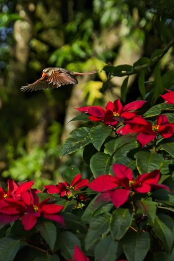 Female Northern Cardinal in-flight over Poinsetta Cardinal Hawaii Poinsetta Flowers Animal Themes Animal Wildlife Animals In The Wild Beauty In Nature Bird Close-up Day Flower Flying Focus On Foreground Green Color Growth Leaf Mid-air Motion Nature No People One Animal Outdoors Plant Red Spread Wings