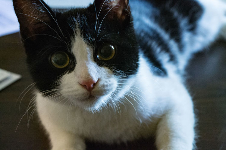 Black and white cat portrait Animal Eye Close-up Domestic Animals Domestic Cat Feline Focus On Foreground Looking At Camera One Animal Pets Portrait Whisker