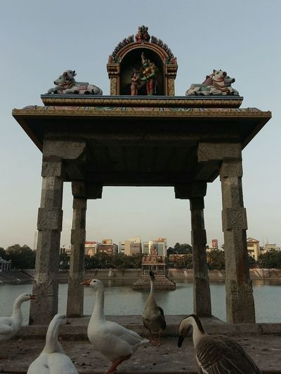 The Swan club meet at the temple pond! Swans Temple Pond Tamilnadu Mylapore Chennai 2017 Pillar Arch Structure Graphic