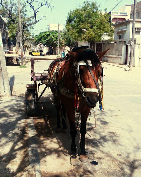 Horse cheval horses animal Sénégal tourisme