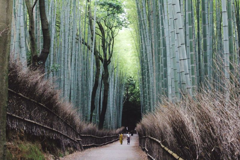 Bamboo Bamboo Forest Japan Kyoto Asian Beauty Nature Travel Discover Your World Tall Plants Small People In Big Places Unbelievable