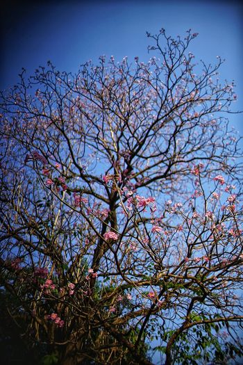Pink Color Pink Flowers No People No Person Day Sky Tree Flower Branch Clear Sky Sky Blossom Plant Life Spring Flora Treetop In Bloom Flower Tree
