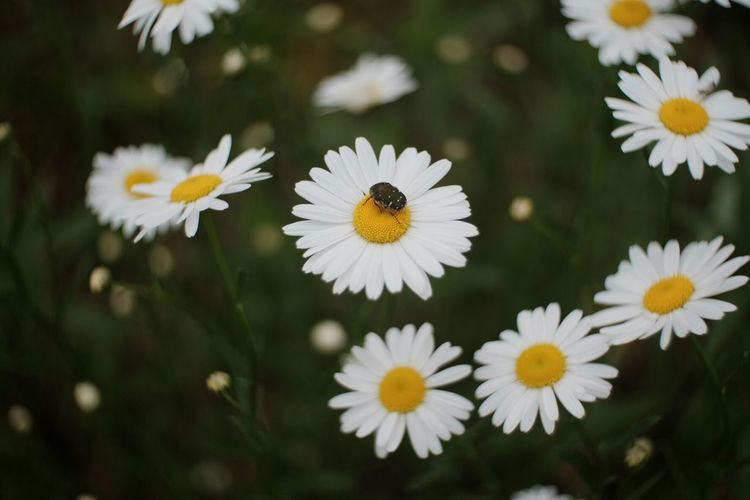 Close-up of beetle on white daisy
