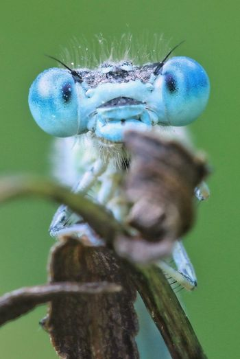 Close-up of blue dragonfly on leaf