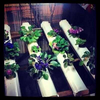 Violets. Aeroponics Hydroponics Hydroculture Hydro violets mist nomedium plants instagarden instagrow grow gardening