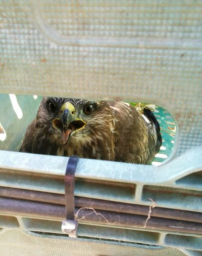 Wildlife Animal Head  Outdoors Buzzard  Rescued Randomactofkindess Capture The Moment EyeEm Best Shots Eye4photography  Eyes