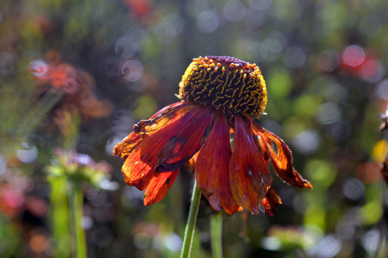 End of summer. Wilted wet coneflower. Backlit Beauty In Nature Botany Close-up Coneflower Dead Plant Drooping Flowers Droopy End Of Summer Finished Flower Flower Head Focus On Foreground Fragility Growth Nature Petal Plant Red Season  Selective Focus Single Flower Stem Vibrant Color Wilted Flower