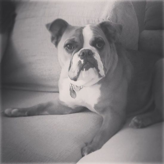 My everything! Oldenglishbulldog Iloveher Ham Abbey