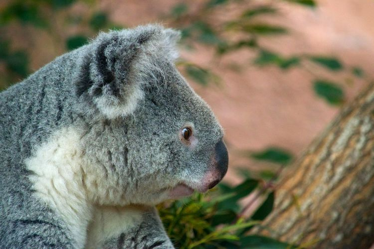 Side view of koala outdoors
