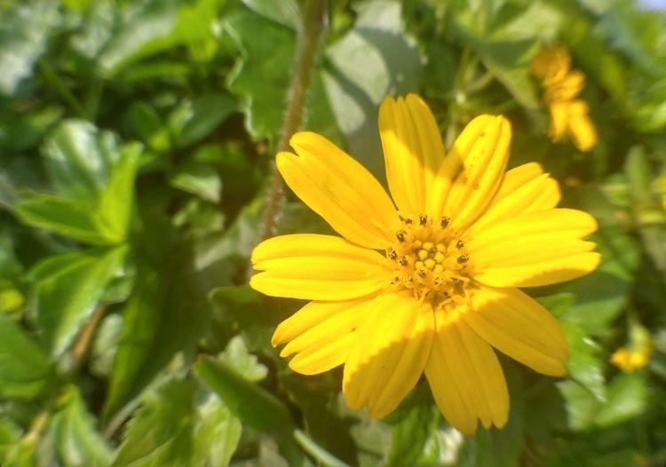 Yelow flowers Flower Yellow Outdoors INDONESIA Panoramaalamindonesia Indonesia_photography Kuninganjabar Microphotography