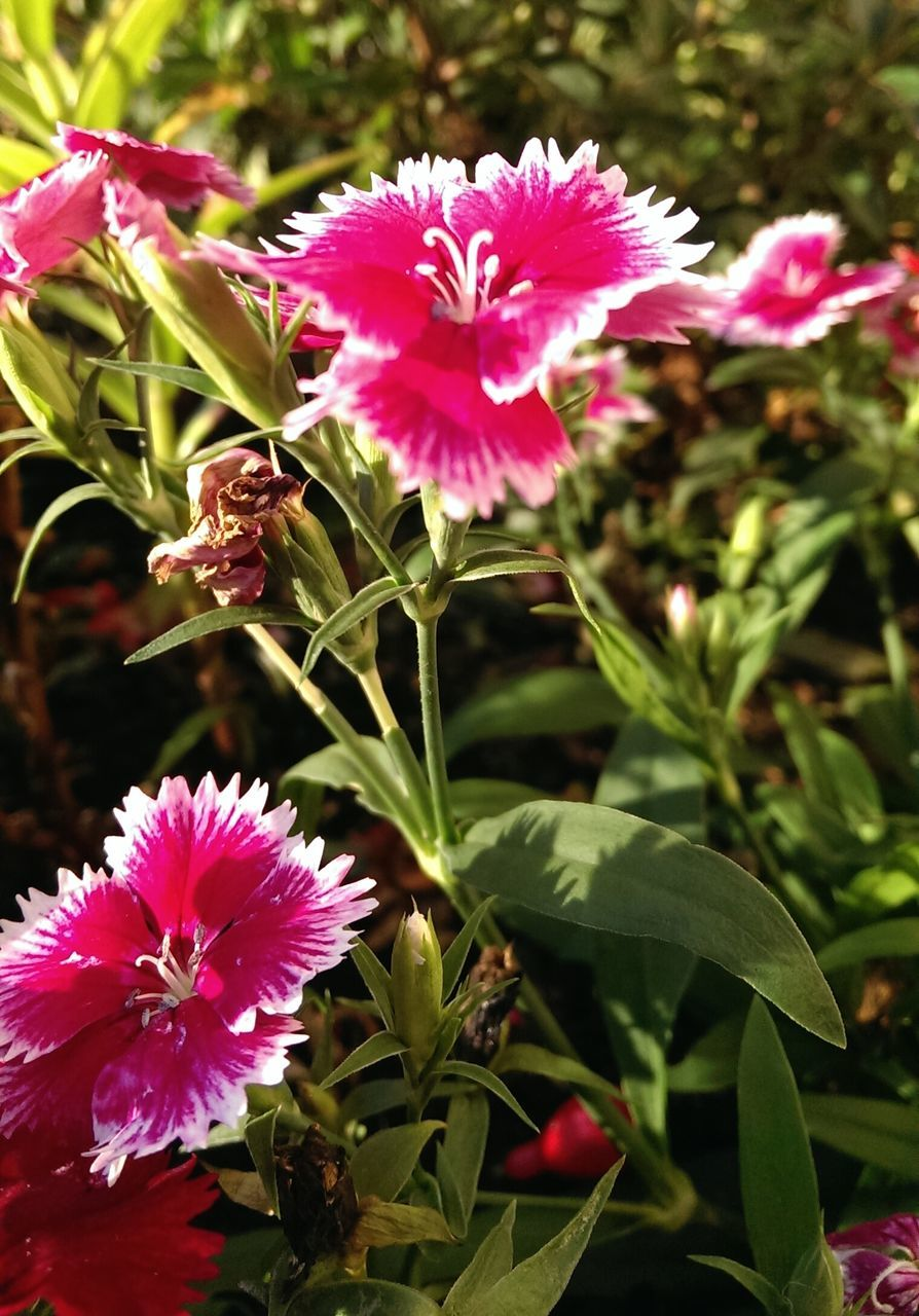 flower, growth, nature, fragility, beauty in nature, plant, petal, pink color, freshness, blooming, leaf, flower head, no people, day, outdoors, green color, close-up