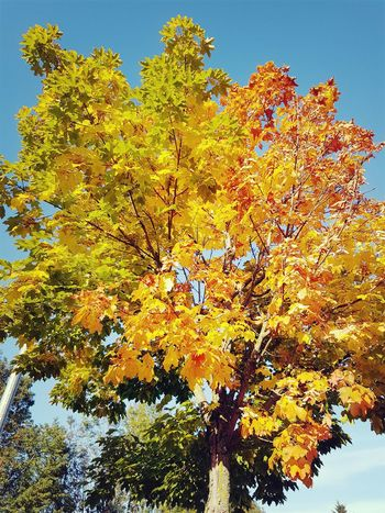 Natural Tree Beauty In Nature Multi Colored Yellow Tree Nature Amazing Colour Low Angle View Sky Outdoors Day No People Growth Backgrounds