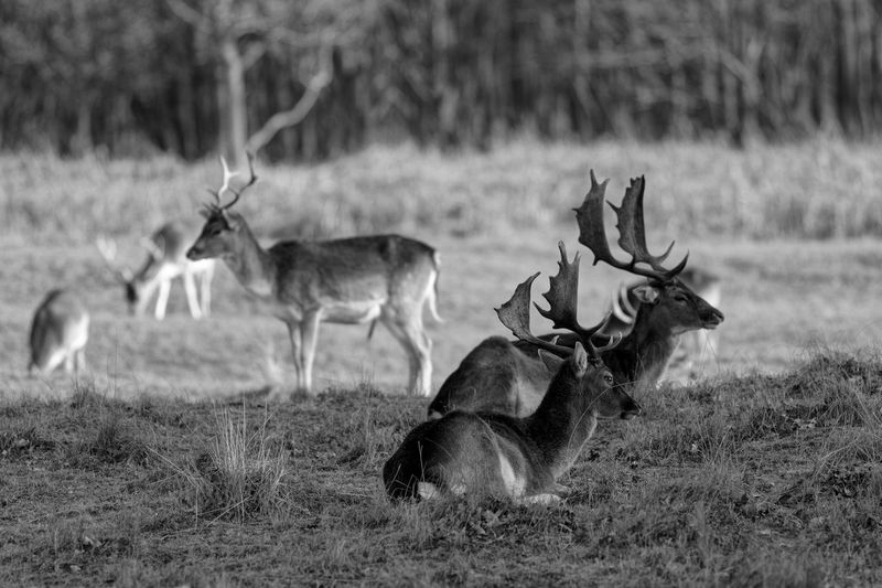 Out with the boys... did you get bokeh'd lately? Blackandwhite Monochrome Bucks Fallow Deer Animal Wildlife Animal Animal Themes Mammal Group Of Animals Animals In The Wild Deer Antler Horned