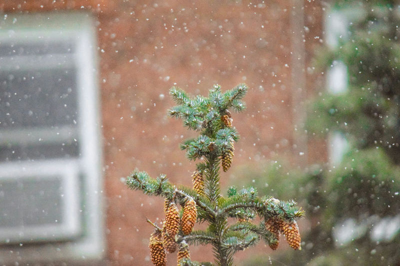 Pine Tree Against House During Snow Fall