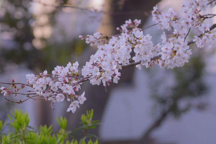 Cherry Blossoms Flowers Flower Collection Japan Colors Spring Flowers Snapshots 桜