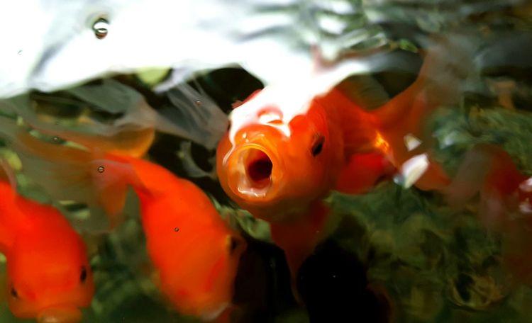 Hungry Goldfish 🐳 Fish Close-up Swimming Animal Themes Goldfish EyeEm Gallery Eyeemphotography Eyeem Photography Eyeem Market Hellow World EyeEm Nature Lover EyeEm EyeEm Vision Water Aquarium Fishporn Aquarium Fish Hi Goldfish In Water Hungry Foodlover Fishes FishEyeEm My Aquarium Red Fish